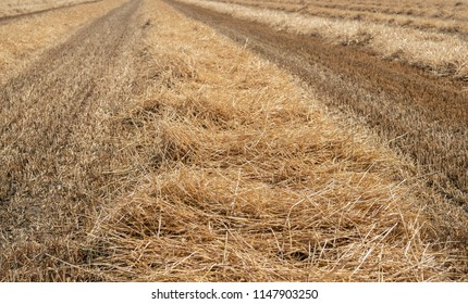 Straw collected in long ridges on a large stubble field after the harvest of the wheat. It is a sunny day in the Dutch summer season.