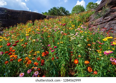 Straw flower of colourful beautiful on green grass nature in the garden with cliff of mountains at Phuhinrongkla National Park Nakhon Thai District in Phitsanulok, Thailand.
