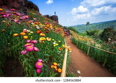 Straw flower of colourful beautiful on green grass nature in the garden with mountains at Phuhinrongkla National Park Nakhon Thai District in Phitsanulok, Thailand.