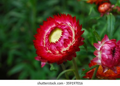 Helichrysum bracteatum images stock photos vectors shutterstock straw flower or everlasting helichrysum bracteatum background mightylinksfo