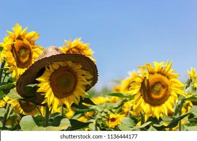Straw hat on sunflower