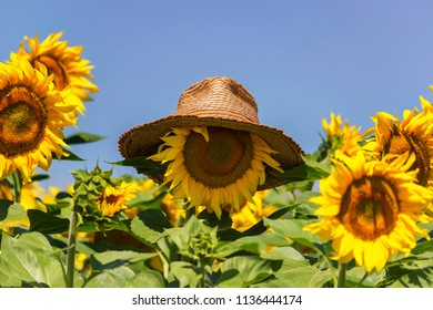 Straw hat on sunflower like head