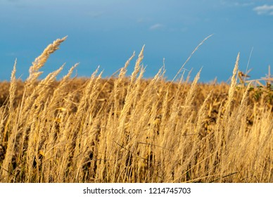 Straw ready to harvest