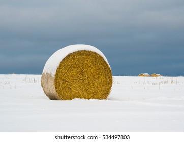 Straw rolls in a field in winter