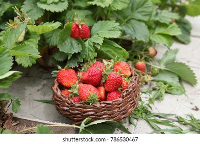 Strawberries are in the basket after harvest. Delicious sweet berries are grown with organic farming.