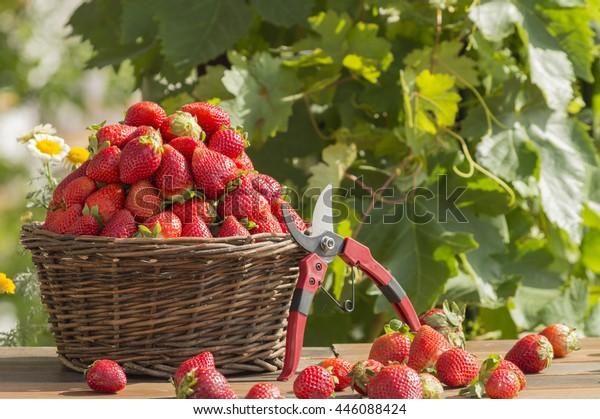 strawberries-basket-garden-600w-44608842