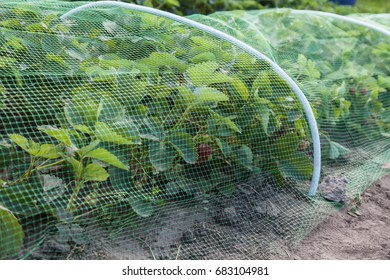 Strawberries bed covered with protective mesh from birds, protection of strawberry harvest in the garden