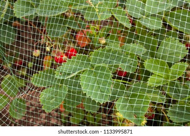 strawberries covered with protective mesh from birds in the garden