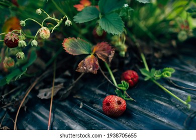 strawberries damaged by pests in a flower bed