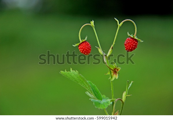 Strawberries in the forest.