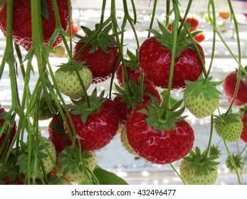 Strawberries in a greenhouse close-up