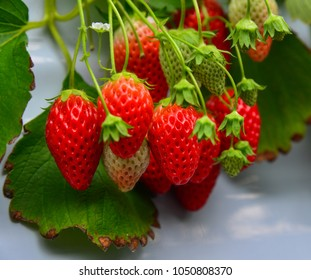 Strawberries grow in batches at a greenhouse in Mie Prefecture, Japan.