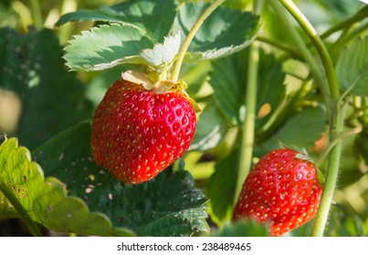 Strawberries growing on a plant