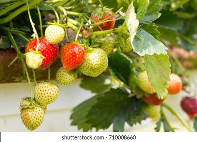 Strawberries growing at  the Parkside farm, where you can go and pick them yourself.