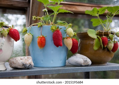 Strawberries growing in pots in a greenhouse at home