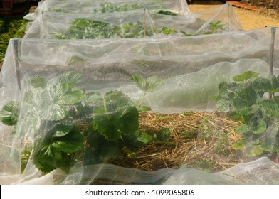 Strawberries growing underneath netting to keep birds and insects off them.