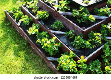Strawberries grows up in raised garden bed. Pyramid raised garden .
