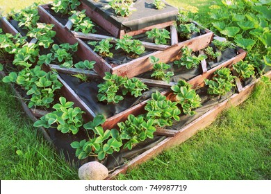 Strawberries grows up in raised garden bed. Pyramid raised garden