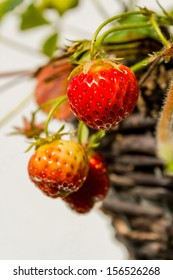 strawberries hanging from basket