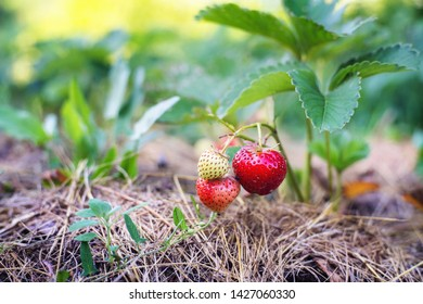 Strawberries mulched with dry grass. Close up.