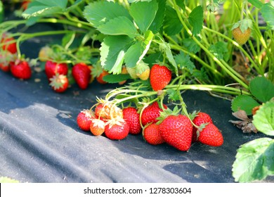 Strawberries on a black nonwoven crop cover