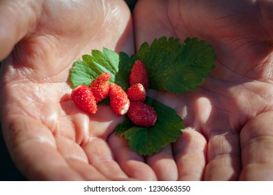 strawberries on green leaves in human hands
