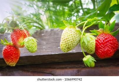 Strawberries in raised bed