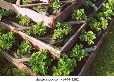 Strawberries in raised garden bed. Pyramid raised garden