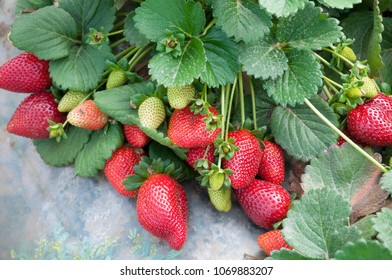 Strawberries, Strawberry field