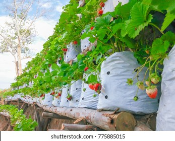 Strawberries in white plastic bags put on wooden boards.