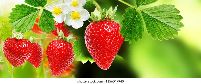 strawberries.berry garden summer