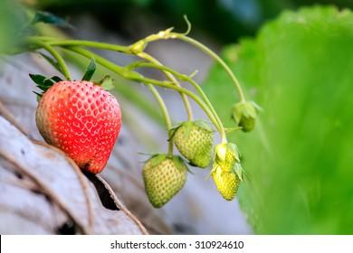 strawberry - atrawberry farm on mountain