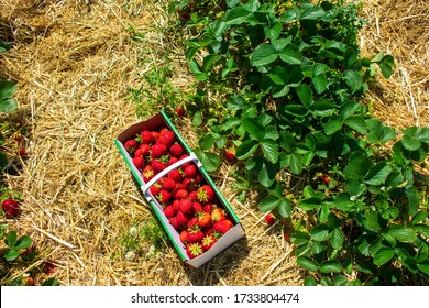 Strawberry basket with juicy strawberries in straw. In a field for self-picking, next to a strawberry bush. Location: Germany, North Rhine-Westphalia, Heiden