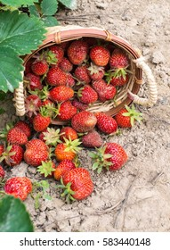 Strawberry in basket on a bed