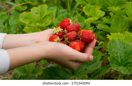 Strawberry berries on the bush. Strawberry plant in the garden. Harvesting strawberries in the garden. Ripe berries of a club. Strawberries in the hands.