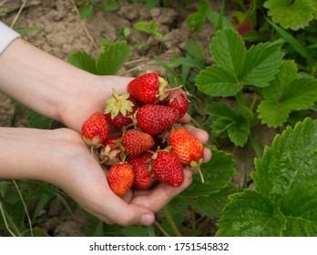 Strawberry berries on the bush. Strawberry plant in the garden. Harvesting strawberries in the garden. Ripe berries of a club. Strawberries in the hands.
