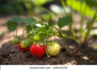 Strawberry berries are ripened on a strawberry bush in the garden in the ground