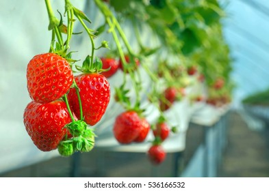 Strawberry berry farm.