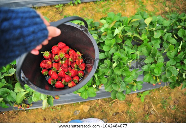 Strawberry in Black Bucket