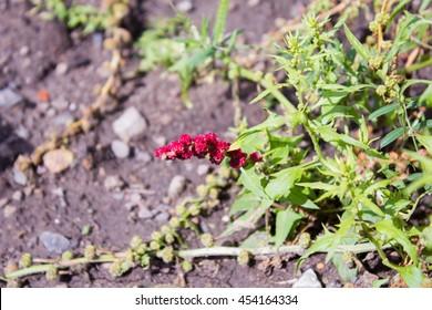 Strawberry blite (Chenopodium foliosum)