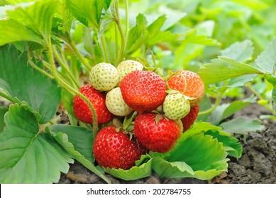Strawberry bush growing in the garden.