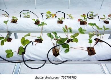 Strawberry cultivation in hydroponics farm