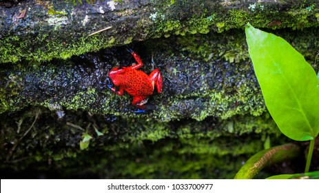 Strawberry dart frog in the forest of Costa Rica