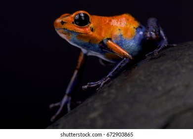 "Strawberry dart frog, Oophaga pumilio ""Blue jeans Nicaragua"""