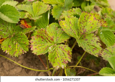 Strawberry Disease. Leaf Of Strawberry With Disease White Spotting Close Up. Fight Diseases.