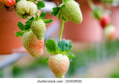 Strawberry at the farm
