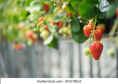 Strawberry in the farm