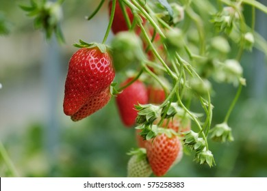 strawberry in farm