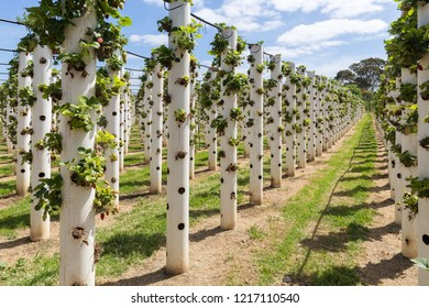 Strawberry farm in Australia. hydroponic farm. Synthetic chemical free. Sweet and juicy.