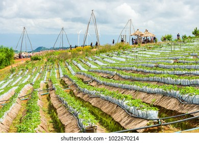 Strawberry farm with drip irrigation system and many tourists on a hill. The location in Khao Kho District, Phetchabun, Thailand, Southeast Asia.